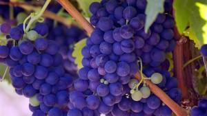 Ripe Grapes on the Vine | Elma Wine & Liquor